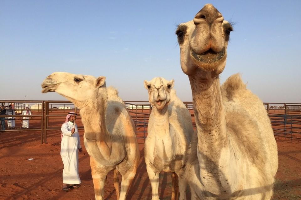Конкурс верблюдов в Саудовской Аравии
